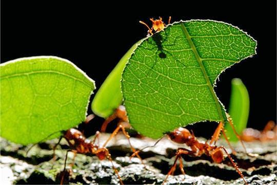 Science biologie fourmis for Rimedi naturali contro le formiche bicarbonato