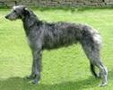 lévrier écossais(deerhound)