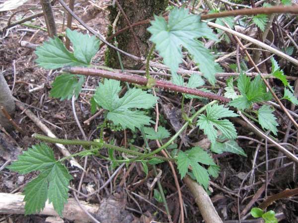 Plante grimpante tige piquante au jardin forum de for Plante au jardin