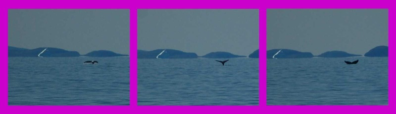 Baleine jubarte entre Aasiaat et Qasigianguit