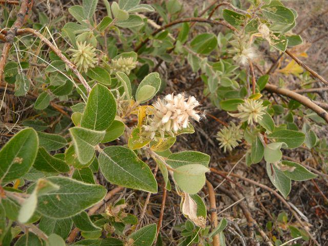 Salix glauca 2