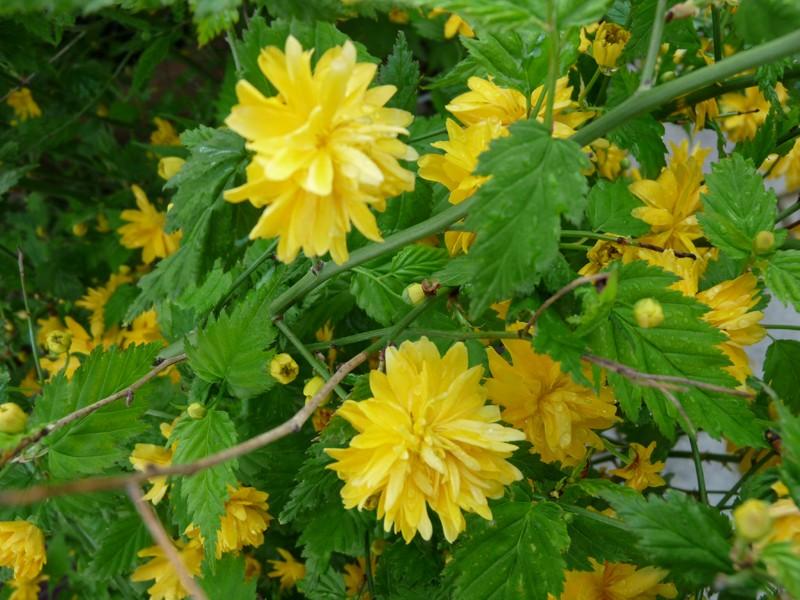 Photo d 39 arbuste fleurs cor te du japon kerria japonica - Arbuste japonais fleur jaune ...
