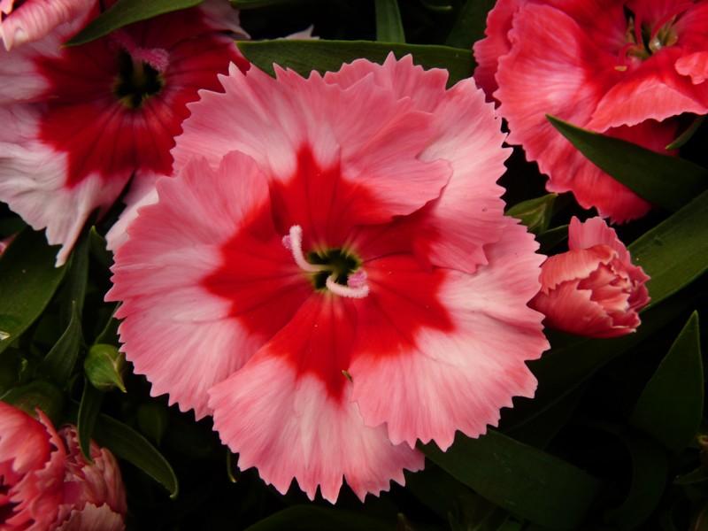 Photos de fleurs illet de chine oeillet de l 39 amour - Oeillet de chine ...