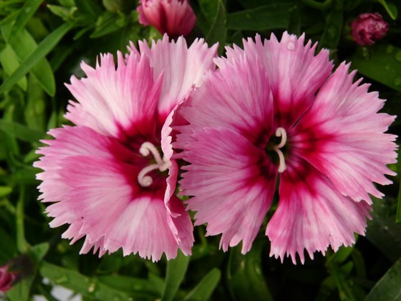 Photos de fleurs illet de chine oeillet de l 39 amour dianthus chinensis dianthus - Oeillet de chine ...