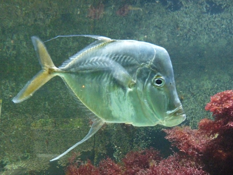 Photos de poissons poisson miroir selene vomer for Poisson yeux miroir