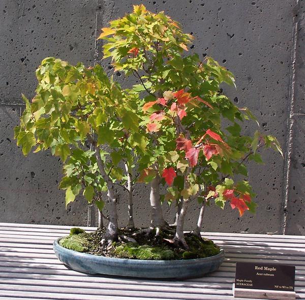 Arces japoneses o japanese maples acer palmatum pgina - Arce rubrum bonsai ...