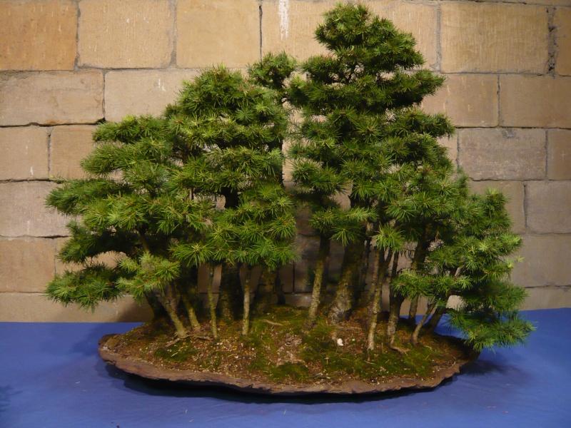 Sobre bosque de bonsai - Bonsai de haya ...