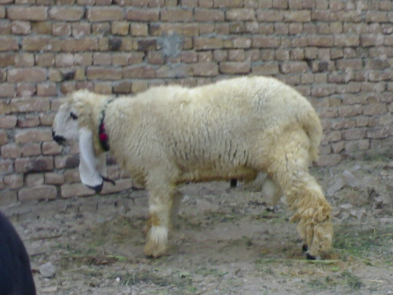 Kajla Sheep http://pakdairy.forumotion.net/t118-sheeps-kajla