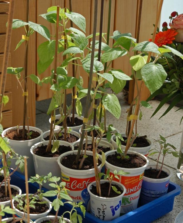 aussaat solanaceae tomaten chili pepino auberginen. Black Bedroom Furniture Sets. Home Design Ideas