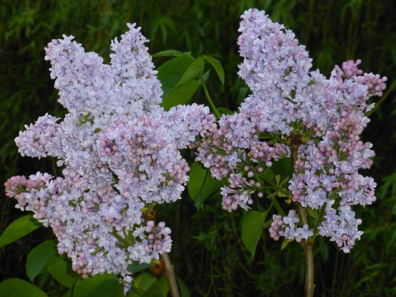 Le lilas de chez moi dans LES 4 SAISONS p1040411