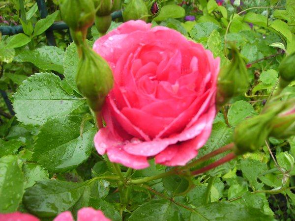 rosari15.jpg