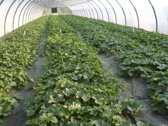 Melon prevision pour la campagne 2013 - Culture du melon charentais ...