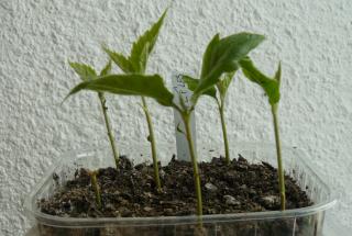 semis d 39 eriobotrya japonica n flier du japon ou bibacier. Black Bedroom Furniture Sets. Home Design Ideas