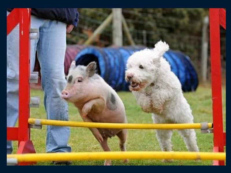 cochon domestique a vendre